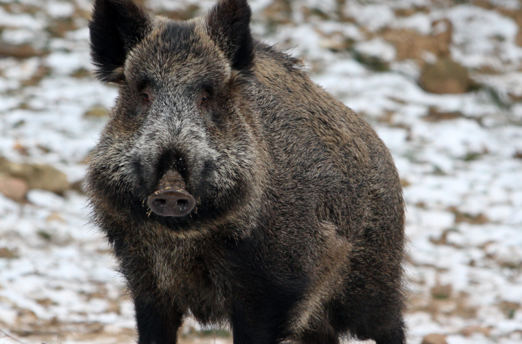 Wild Boars Kill Three ISIS Jihadists