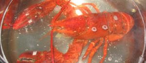 Liberals Outraged About Boiling Lobsters, Okay with Aborting Babies